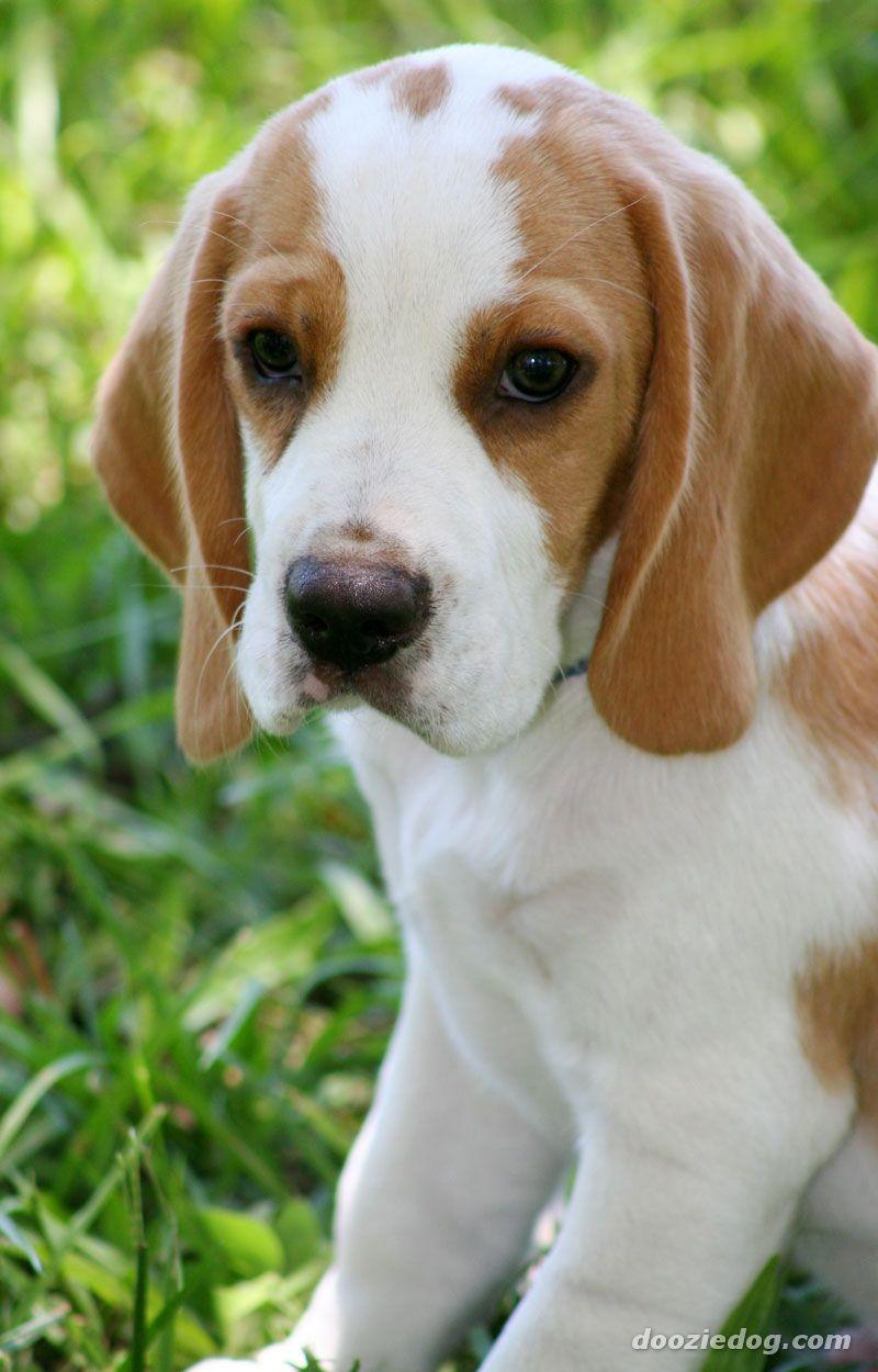 Beagle lemon and White needing a good home | Coventry ...  |Lemon Beagle Puppies