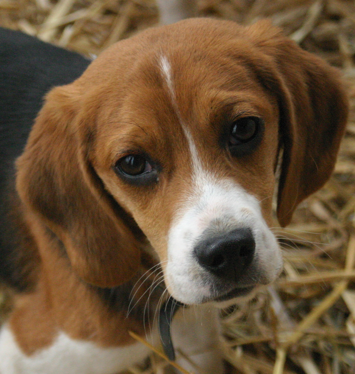Beagle Care | A-Z Pet Guide (Ultimate Pet Information And ...