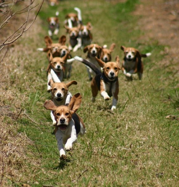 Beagle Running We Love Beagles – Th...