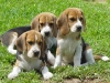 3-beagle-of-a-kind