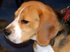 Beagle-photo-cute