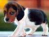 adorable-beagles