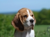 beagle-puppy-grump