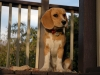 beagle-puppy-guard