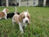 beagle-puppy-litter