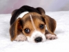 beagle-puppy-love