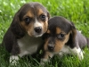 beagle_puppies