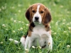 beagles-cute