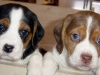 double-trouble-beagle