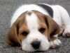 sleepy-beagle-puppy