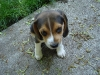 too-cute-beagle