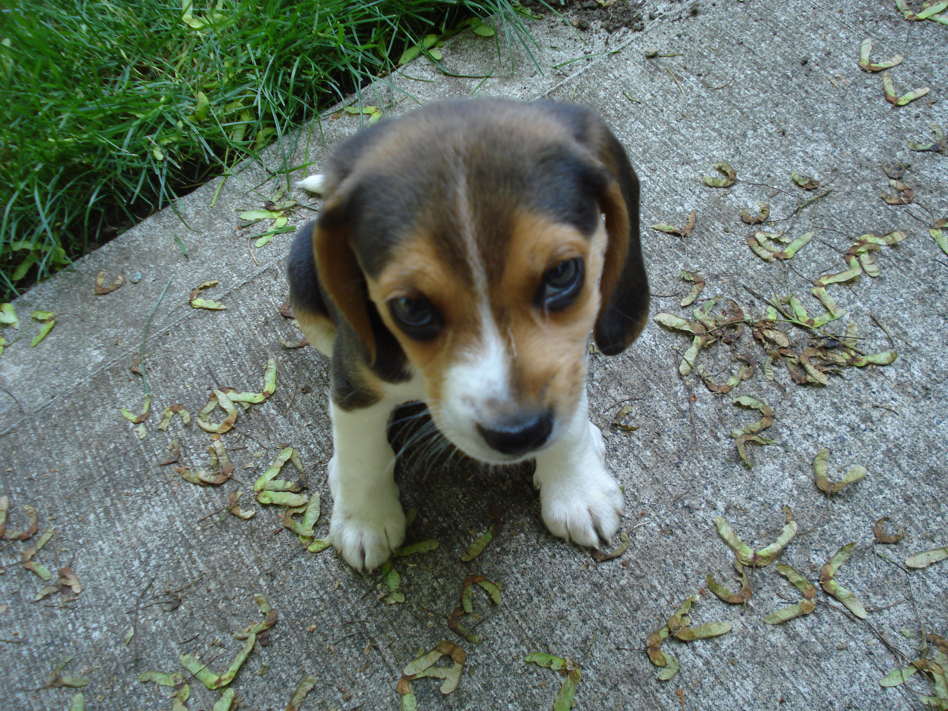 ... – The Ultimate Guide To Beagles » Blog Archive Beagle Photos