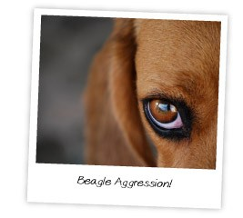 beagle aggression