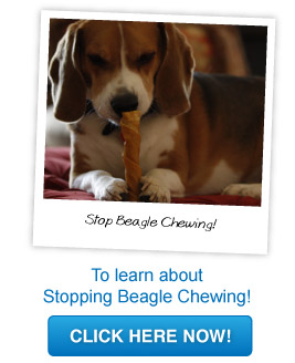 beagle chewing