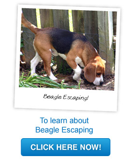 beagle escaping