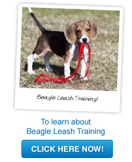 beagle leash training