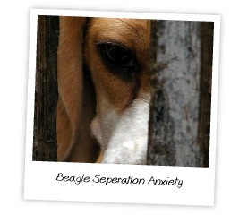 beagle seperation anxiety