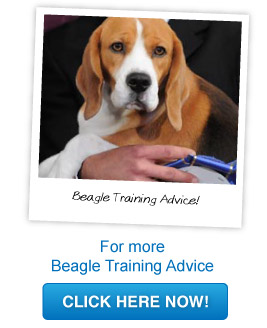 beagle training advice