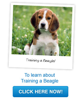 training a beagle