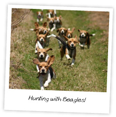 Beagle hunting fox - photo#12