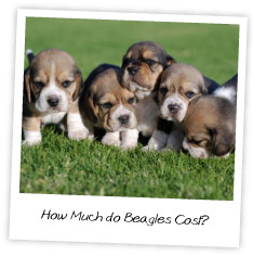 How Much do Beagles Cost?