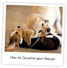 How to Socialize your Beagle