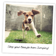 Stop you Beagle from jumping