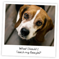 What Should I  Teach my Beagle?
