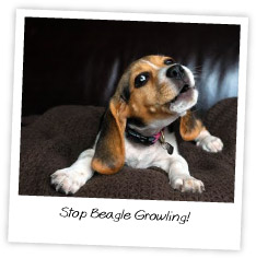 Stop Beagle Growling