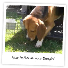 How to Rehab your Beagle!